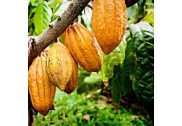 Ezme Diyarı Neden Ham Kakao Kullanır ?